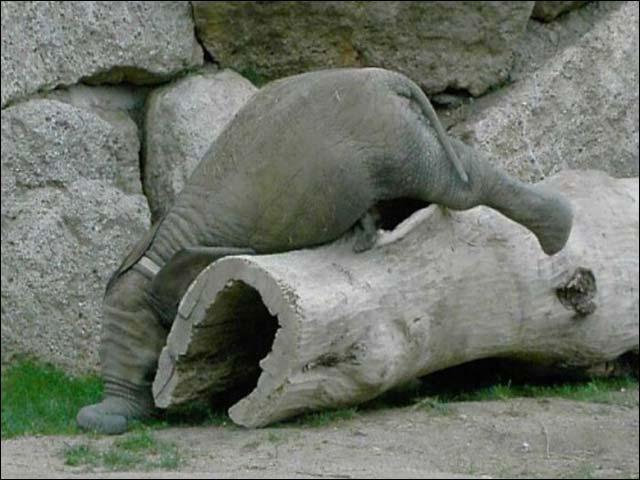 Smeshno-slonenok-navernulsya